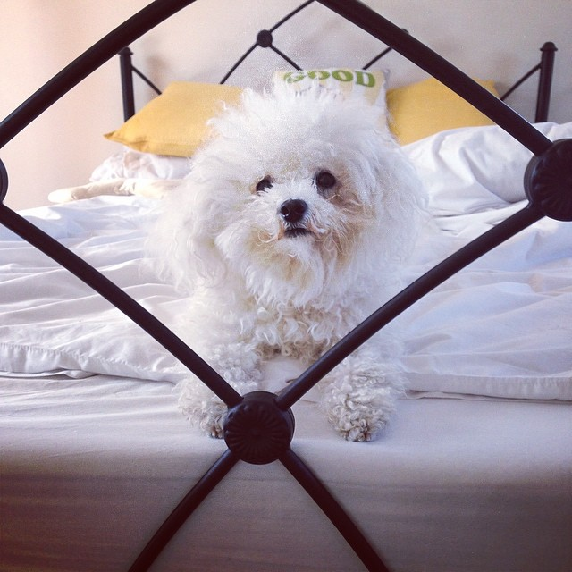 Good morning! #bichon #bichonfrise #dogstagram